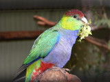 red capped parrot gather leaves poster