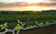 sunset over vineyard
