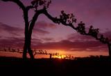grape vine silhouette poster