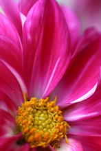 bloem close-up roze daisy