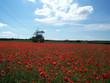 pylon poppies