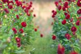 Fototapeta dahlia flower closeup