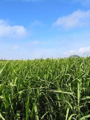 sugar cane field #2