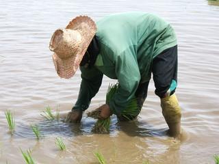 planteuse de riz en thailande