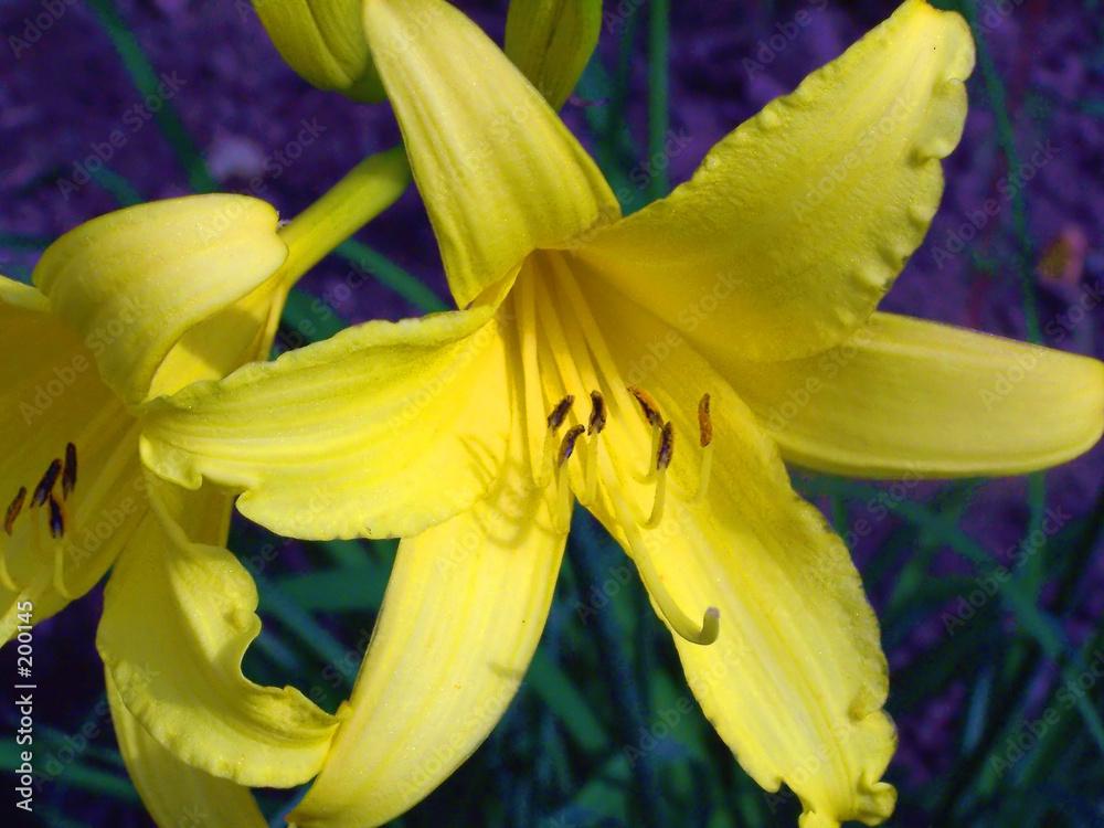 żółty kwiat ogród - powiększenie