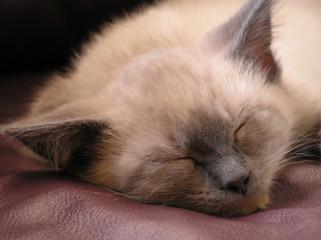 sleeping siamese kitten