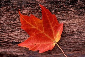red, autumn leaf