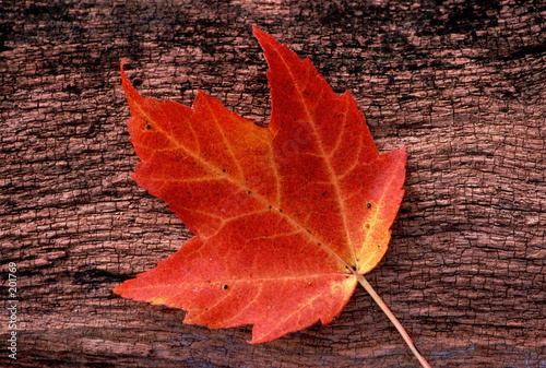 red, autumn leaf