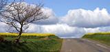 route et champ de colza poster