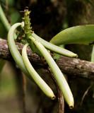 Fototapety green vanilla