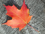 maple leaf on a piece of aged wood poster