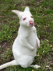 a cute white parma wallaby