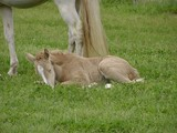 gold champagne foal sleeping poster