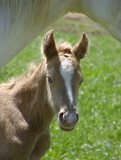 gold champagne foal poster