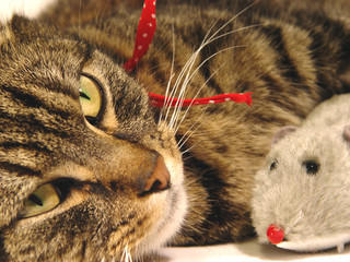 portrait of tabby cat with toy mouse