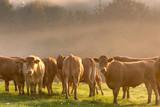 danish cows 01 poster