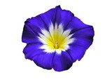 blue exotic morning glory poster