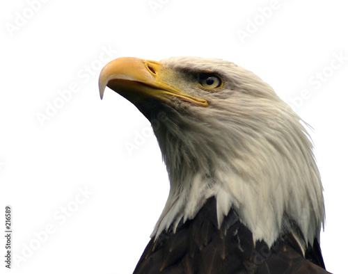 Leinwandbild Motiv bald eagle, isolated