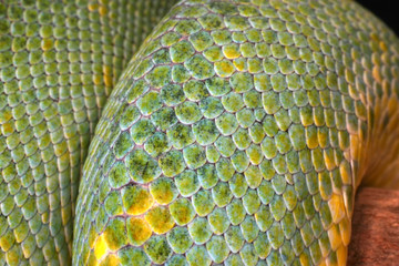 details of a green tree python scales (macro)
