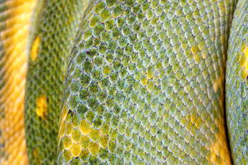 extreme closeup of a green tree python's scales (m