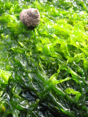escargot sur algues