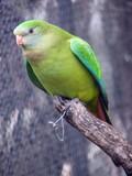 hooded parrot female poster