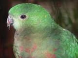 king parrot female poster