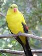 Постер, плакат: regent parrot