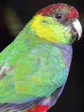 red capped parrot poster