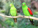 a pair of redwinged parrots poster
