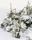 fir trees under the snow poster