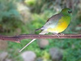 red rumped parrot female poster
