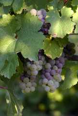 grapes in a vineyard 3