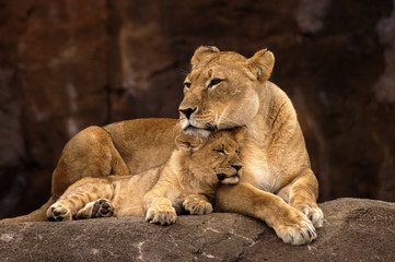 animal - african lion (panthera leo krugeri)