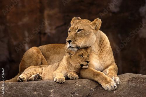 Staande foto Leeuw animal - african lion (panthera leo krugeri)