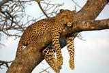 lazy lounging leopard - Fine Art prints