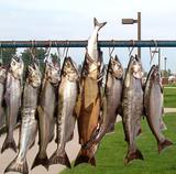 hanging salmon poster