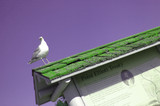 seagull on green roof poster