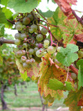 grapes for ice wine poster