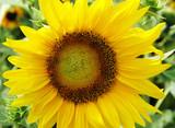 flower series - sunflower poster