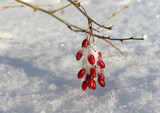 barberry under the  snow poster