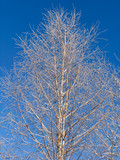 birch  under the hoar-frost poster