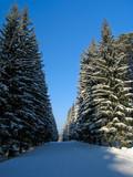 winter fir trees poster