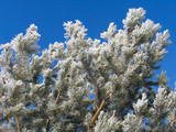 pinus silvestris covered with hoar-frost poster