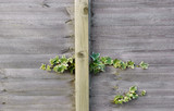wooden fencing with ivy poster