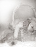 american cocker spaniel puppies asleep in a basket poster