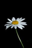 solitary daisy poster