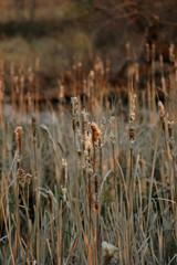 flora - cattails (typha gracilis)