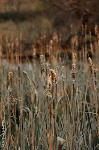 flora - cattails (typha gracilis)