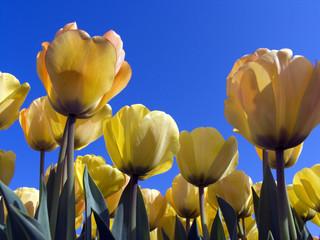 tulip field 7